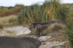 Young Southern Elephant Seal - Falkland Islands Royalty Free Stock Images
