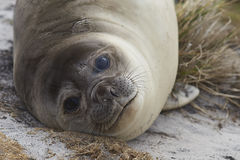 Young Southern Elephant Seal - Falkland Islands Royalty Free Stock Photo