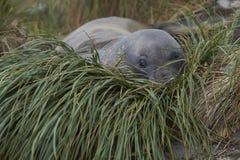 Young Southern Elephant Seal - Falkland Islands Stock Photos