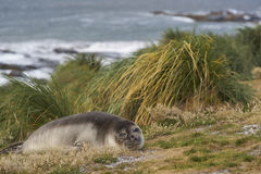 Young Southern Elephant Seal - Falkland Islands Royalty Free Stock Photography