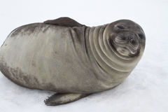 Young southern elephant seal that looks squinting Stock Photo