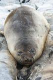 Young southern elephant seal sleep among the rocks on the island Royalty Free Stock Photo