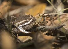 Southern Pacific Rattlesnake eating lizard Royalty Free Stock Photo