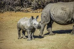 Young Southern White Rhino calf, about two months old, standing near its mother. Also called square-lipped rhinoceros it has a flat upper lip used for grazing stock photos