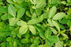 Young Soy Bean Field, Araucaria Soy fiel on farm.  Royalty Free Stock Photos