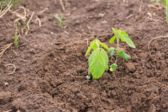 Young soy plants on a farm Royalty Free Stock Image