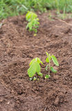Young soy plants on a farm Stock Photos