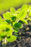 Young soybean plants growing in cultivated field royalty free stock photo