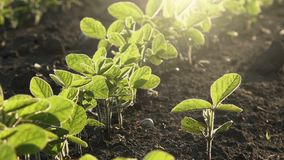 Young soybean plants growing in cultivated field stock video footage