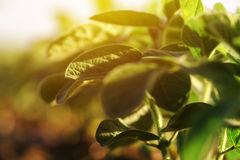 Young soybean plants royalty free stock photo