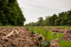 Young soybean sprouts coming up from freshly tilled ground. View looking down a row of freshly planted soybean plants in tilled ground/dirt Stock Image