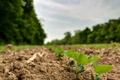 Young soybean sprouts coming up from freshly tilled ground. View looking down a row of freshly planted soybean plants in tilled ground/dirt Stock Photos