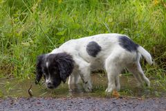 Puppy break, a young puppy having a look in muddy puddles. royalty free stock images