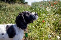 Young spaniel puppy looking up whilst stood in a meadow. stock image