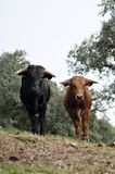 Young spanish bulls in Spain. Young Spanish bulls of different colors free in the meadow Stock Images