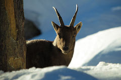 Young spanish Ibex. A young Spanish Ibex in the snow Royalty Free Stock Images