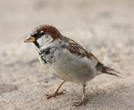 Young sparrow. A photo close up Royalty Free Stock Images