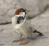 Young sparrow Stock Image