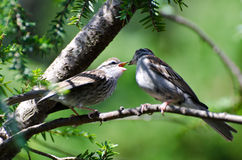 Young Sparrow Being Fed by its Parent Royalty Free Stock Image