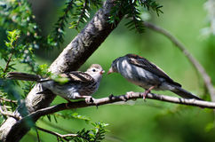 Young Sparrow Being Fed by its Parent Royalty Free Stock Photo
