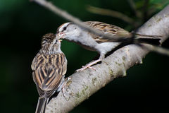 Young Sparrow Being Fed by its Parent Stock Image