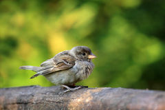 Young sparrow bird Royalty Free Stock Photos