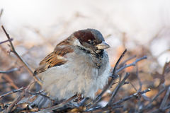 Young sparrow on branch. The photograph depicts a young sparrow on branch Stock Photos