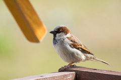Young sparrow on branch. The photograph depicts a young sparrow on branch Royalty Free Stock Image