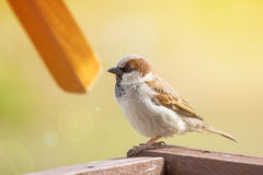 Young sparrow on branch. The photograph depicts a young sparrow on branch Stock Images