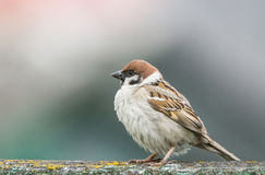 Young sparrow on branch. The photograph depicts a young sparrow on branch Royalty Free Stock Photography