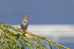 Young sparrow on branch Royalty Free Stock Images