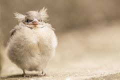 A young sparrow chick with fluffy feathers and cute little feet and a beak with a blurred background. A young house sparrow chick with fluffy feathers and cute stock image