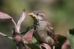 Young sparrow. Flew out of the nest and look around Stock Photography