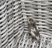 Young sparrow hiding from rain stock photography