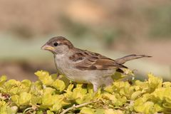Young Passer domesticus at yellow grass Royalty Free Stock Photos