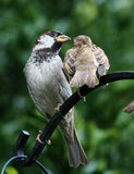 Young Sparrow with male parent. Young Sparrow with male parent on perch Stock Photography