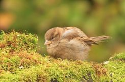 Young sparrow on moss Royalty Free Stock Image
