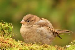 Young sparrow on moss Royalty Free Stock Photo