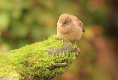 Young sparrow on moss Royalty Free Stock Photography
