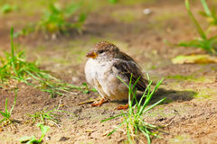 Young Sparrow Stock Images