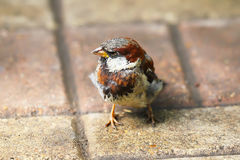 Young Sparrow Royalty Free Stock Photo