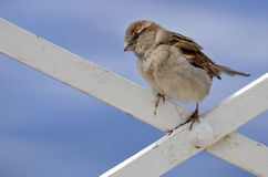 Young sparrow perched Stock Photos