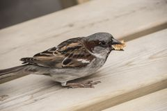 Young sparrow is eating on a wooden table. Young sparrow is sitting and eating on a wooden table Royalty Free Stock Photo