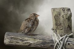 Young sparrow is sitting on an old fence outside Royalty Free Stock Image
