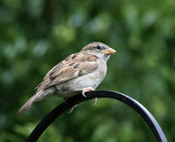 Young Sparrow. Young Sparrow still showing beak gape Stock Photo
