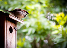 Young Sparrow on top of Bird House. Young Sparrow sitting on top of wooden bird house, fluffing feathers. Beautiful green bokeh background Stock Image