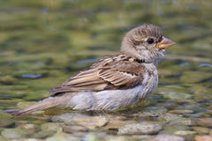 Young sparrow in water. Young sparrow performs daily cleaning in water Royalty Free Stock Image