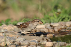 Young sparrow at watter. Female young sparrow standing on a rock near the water in a warm summer day Stock Photography