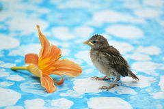 young sparrow is worth about Orange lily Royalty Free Stock Images