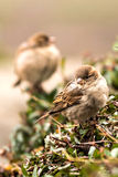 Young sparrows Royalty Free Stock Photography
